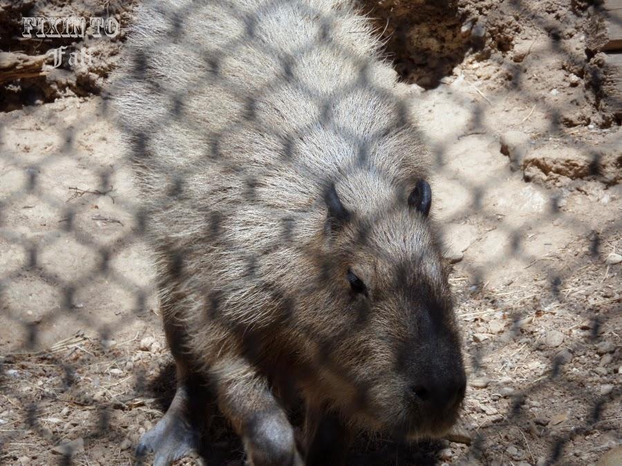 Cameron Park Zoo Capybara