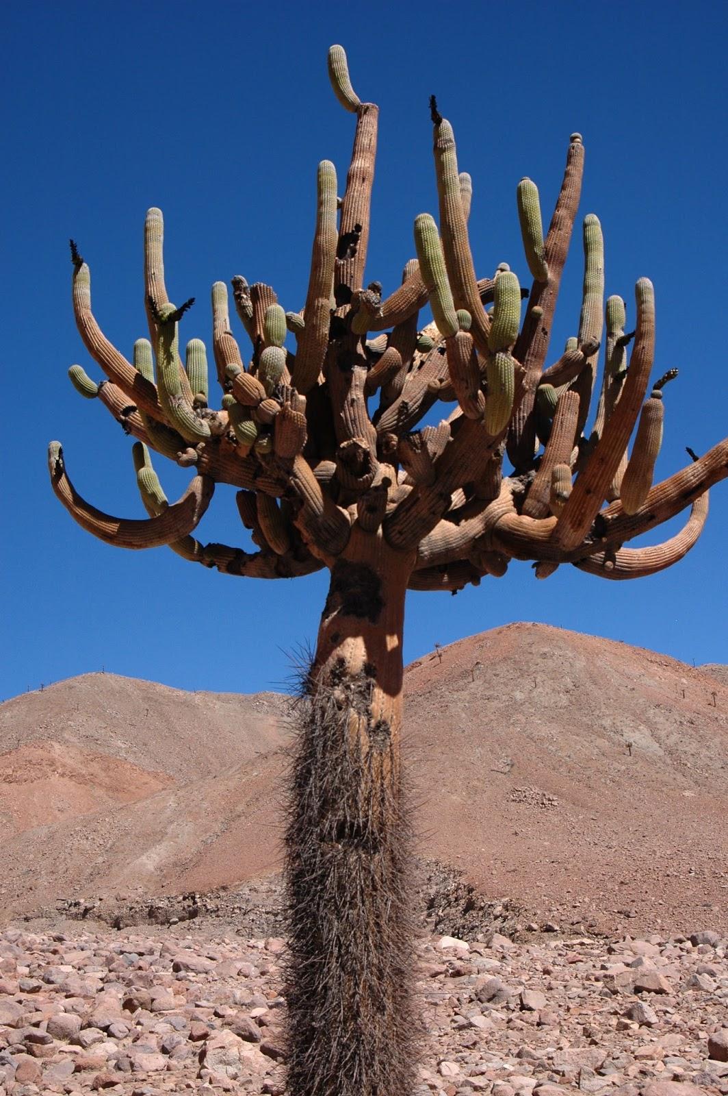 Turismo iv regi n la riqueza de chile flora y fauna for Cactaceas de chile