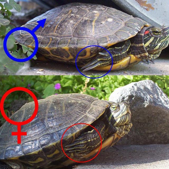 Красноухая черепаха в домашних условиях фото как ухаживать