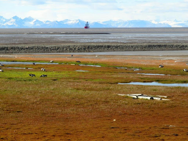 Nesting birds on the coastline of Svalbard, Ship and snow covered mountains in the background
