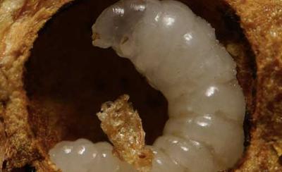 Larva Tawon