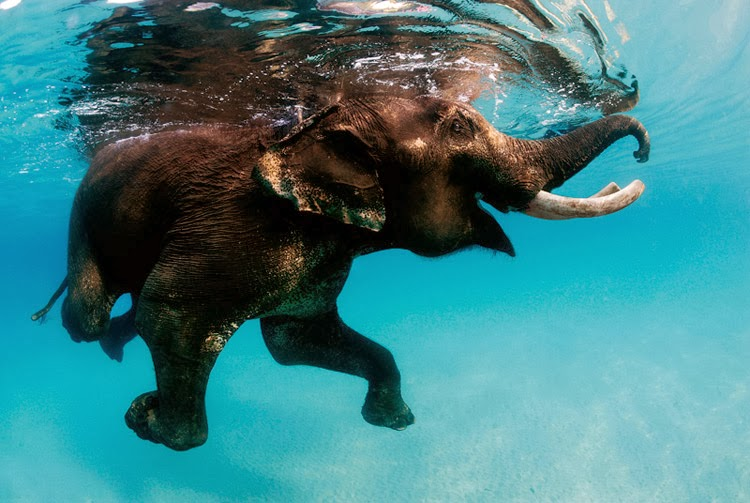 Swimming Elephants of Andaman Islands are now only exist in Havelock