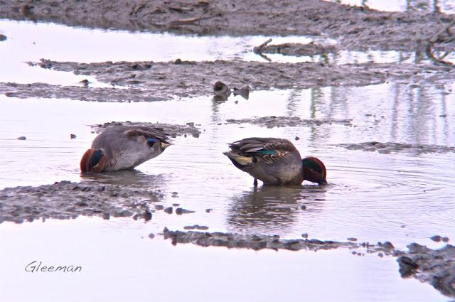 小水鴨於關渡自然公園