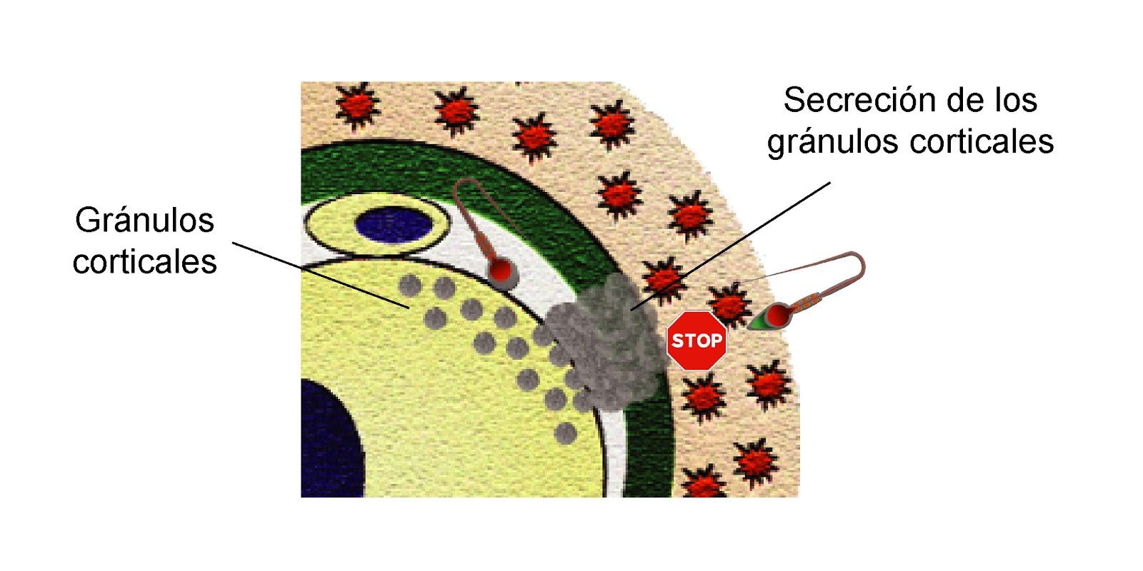El contenido de los gránulos corticales impide que el óvulo sea fecundado por más de un espermatozoide