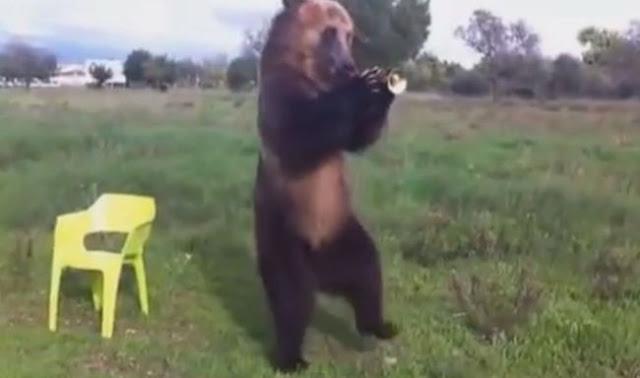 Beruang pandai tiup trompet