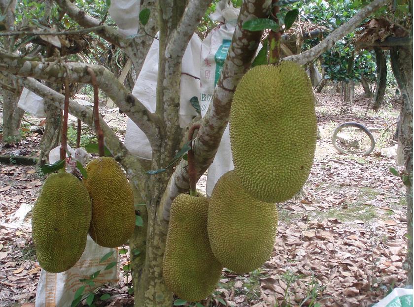 Jackfruit(Nangka)