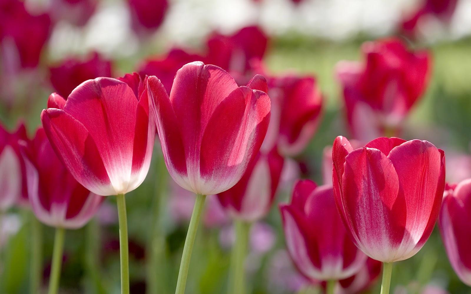 tulpen achtergrond met een - photo #1