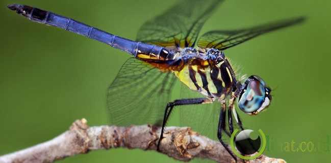 Dragonfly alias Capung