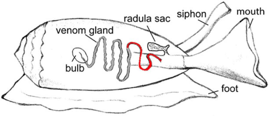 cal poly bio 502  venomous insulin  cone snails and their