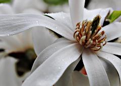 ✿ Fleur du mois : Magnolia