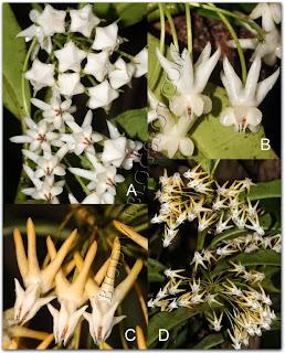 Hoya-lockii-Hoya-multifolia