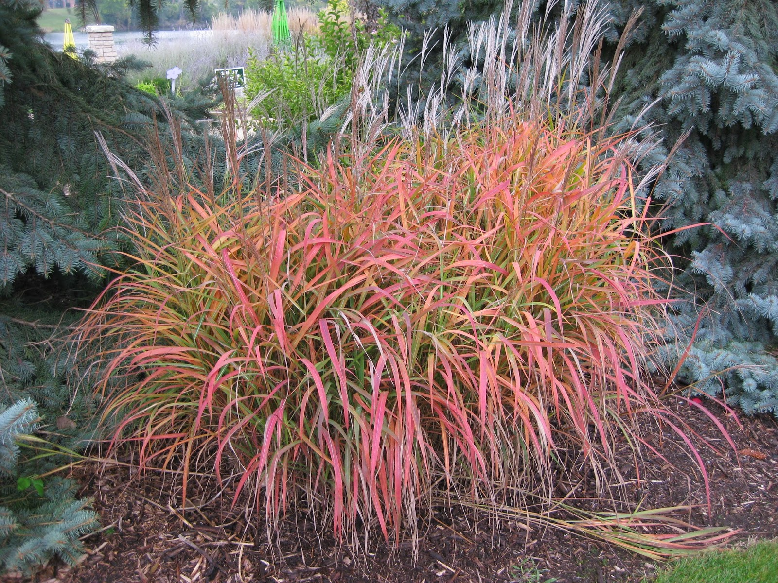 Rotary botanical gardens hort blog perennial grasses for Red landscaping grass