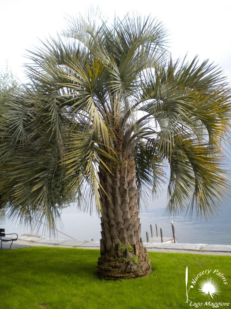 Butia capitata, nurserypalms.it