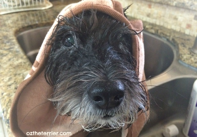 Oz the Terrier wrapped in Luv & Emma's Dry Pets Plus Towel after bath
