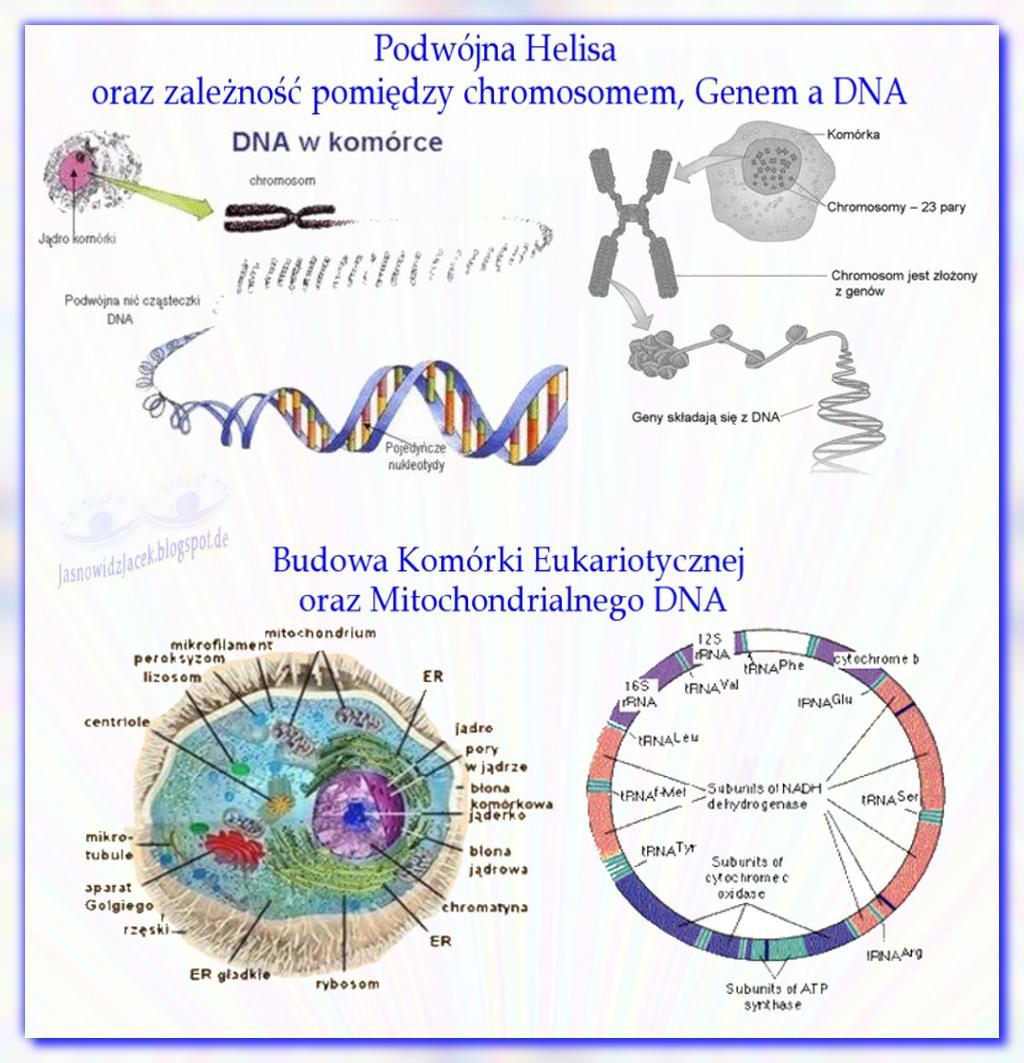 Budowa DNA