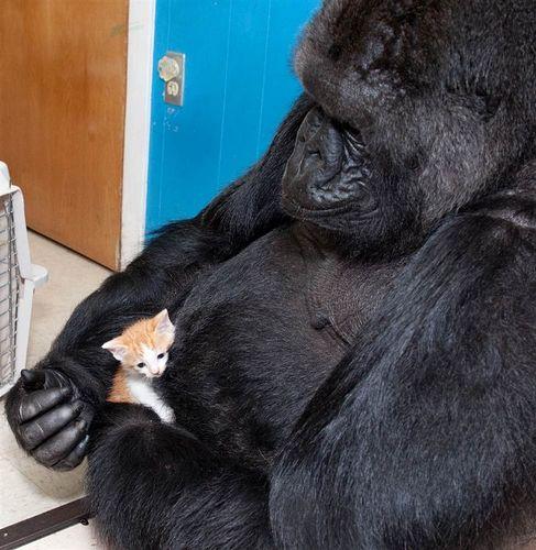 Gorila jaga anak kucing