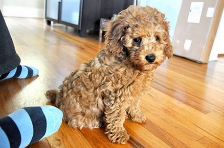 red poodle puppy acting guilty
