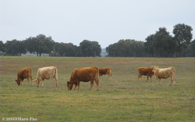 Cattle grazing in Alentejo plains