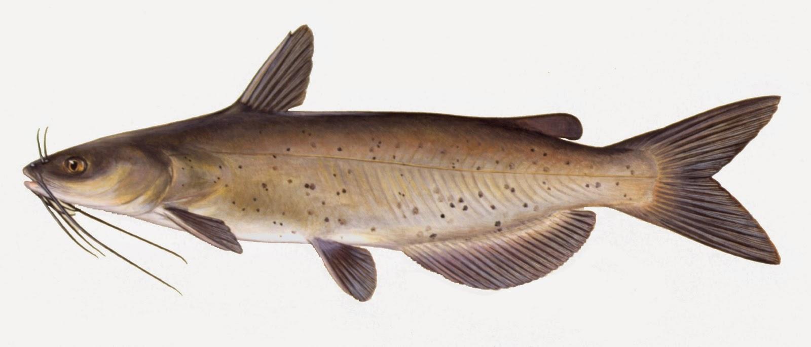 Take it outside fish iowa iowa fish species catfish for Outside fish