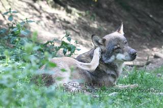 Loup dans le Mercantour à Saint-Martin-Vésubie
