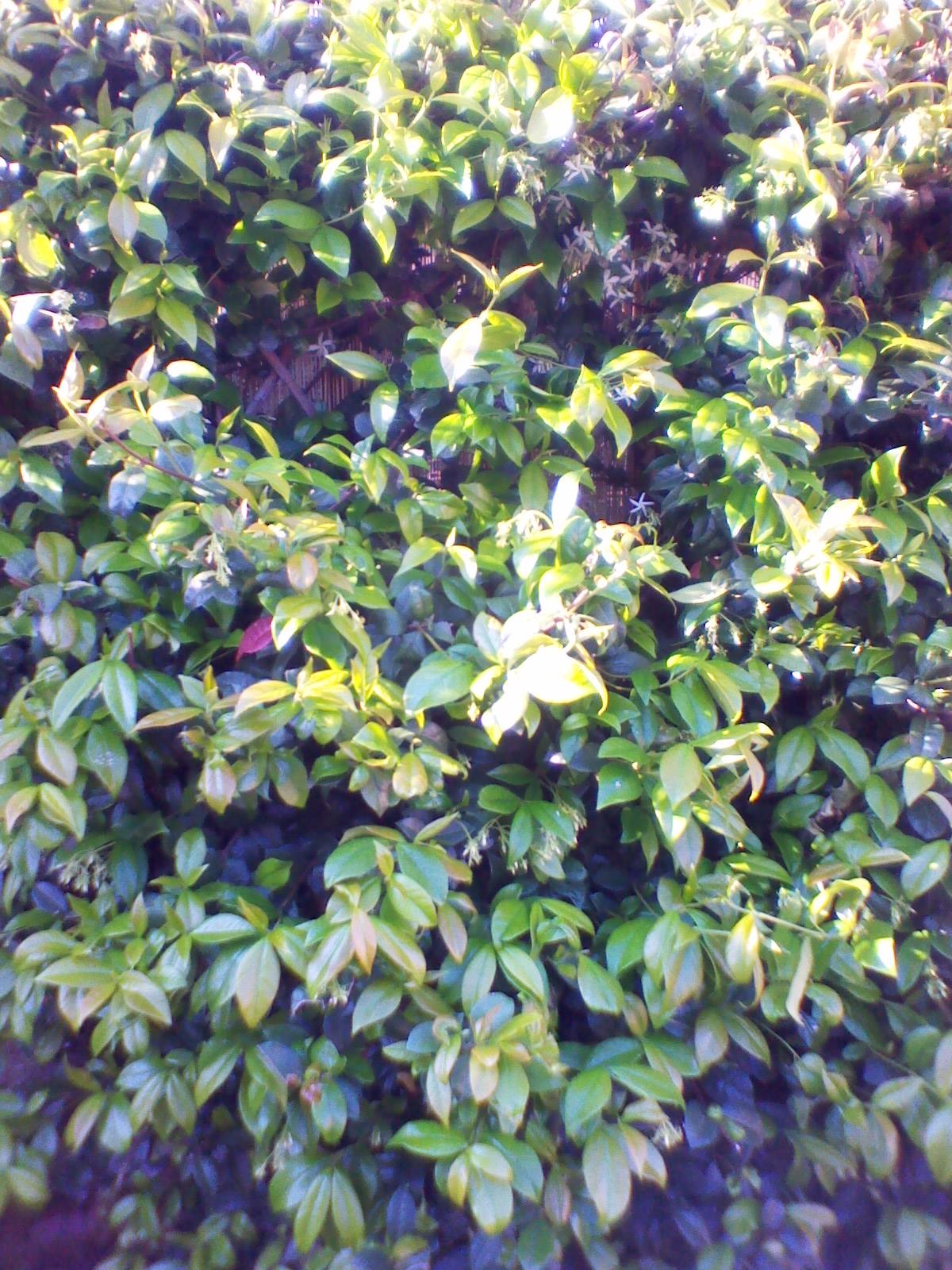 Il mondo di paw il gelsomino rampicante jasminum for Gelsomino rampicante