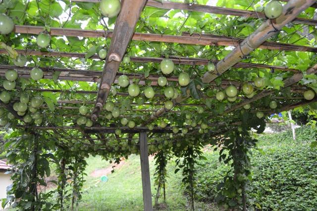 Pokok Delima Pomegranate Khasiat Dan Penjagaan Debungor ...