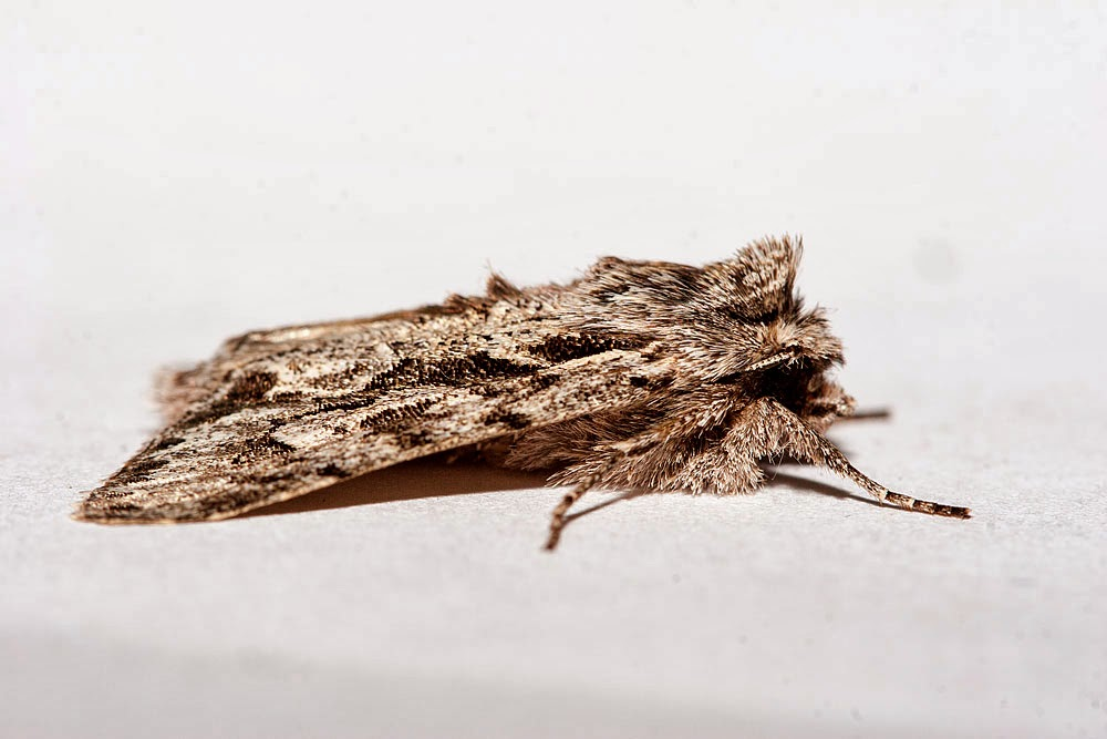 Early Grey Moth, Milton Keynes