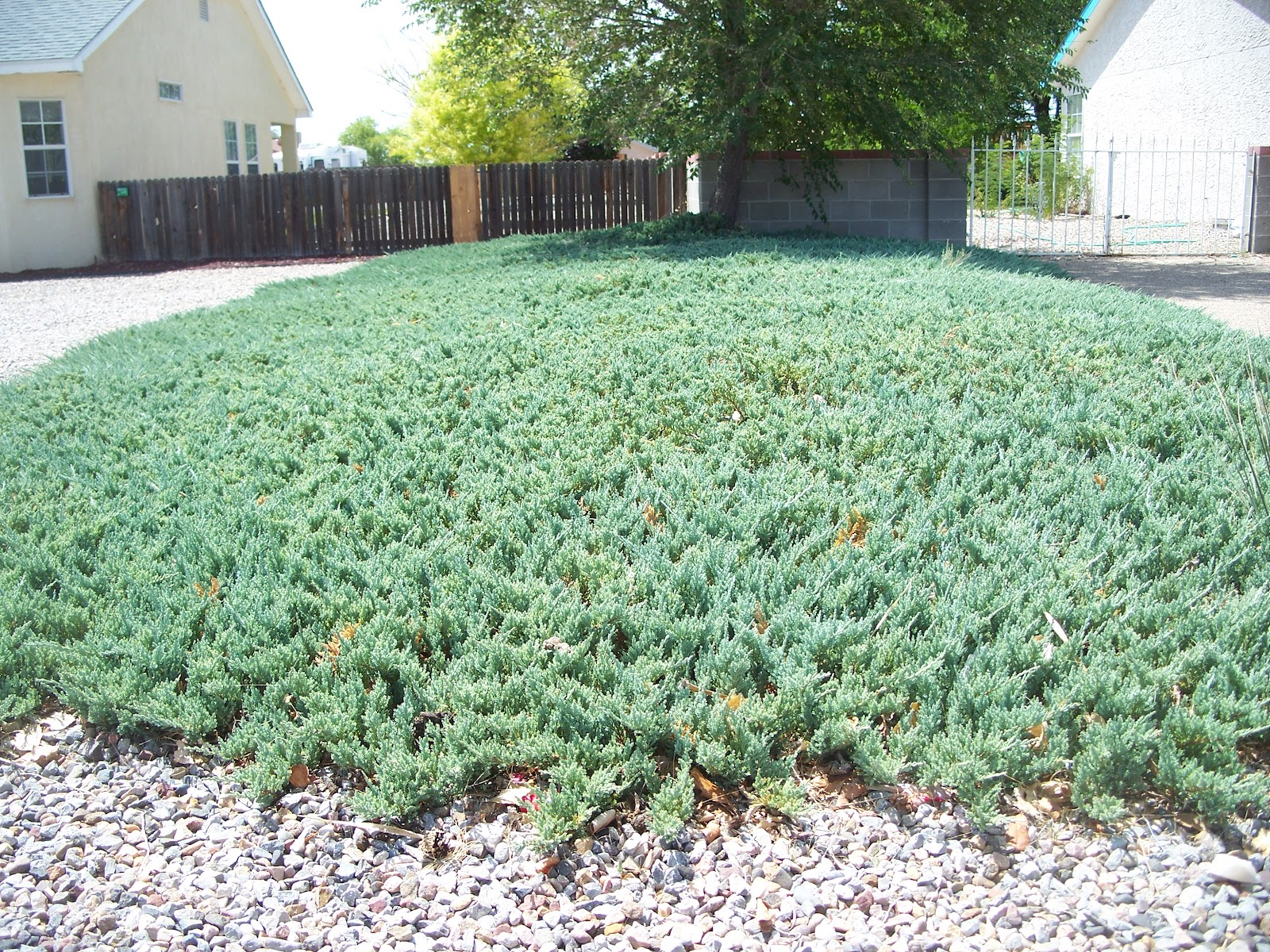 Trees that please nursery blue rug juniper for Best low growing groundcover for full sun