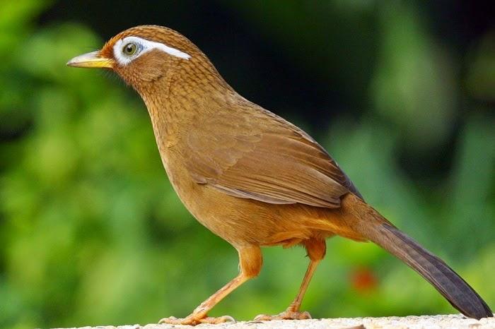 Mengenal Burung Samho