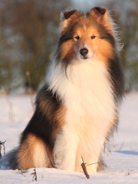 meet The KNIGHTs Sheltie - SATURN