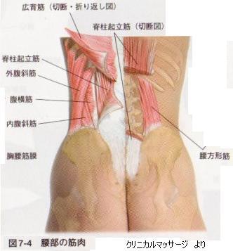 「腰方形筋」の画像検索結果