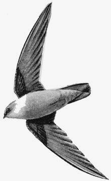 Foto Burung Walet Terbaik