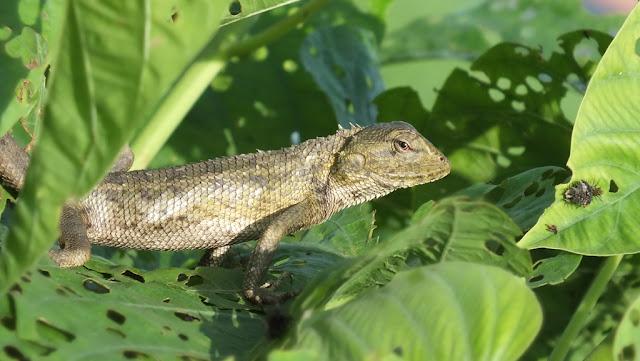 Bunglon londok Kelaperan iguana