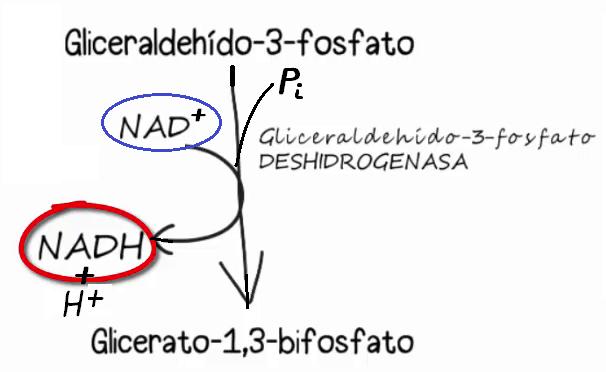 glucólisis, NAD+,NADH