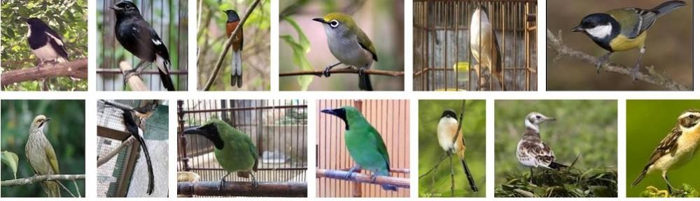 Citra Nuansa Lovebird