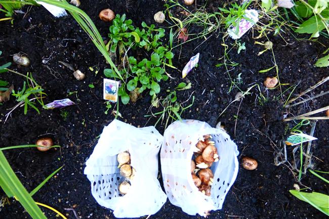 bulbs, planting bulbs, spring bulbs, planting spring bulbs, crocus, muscari, garden, spring garden bulbs, plant spring bulbs