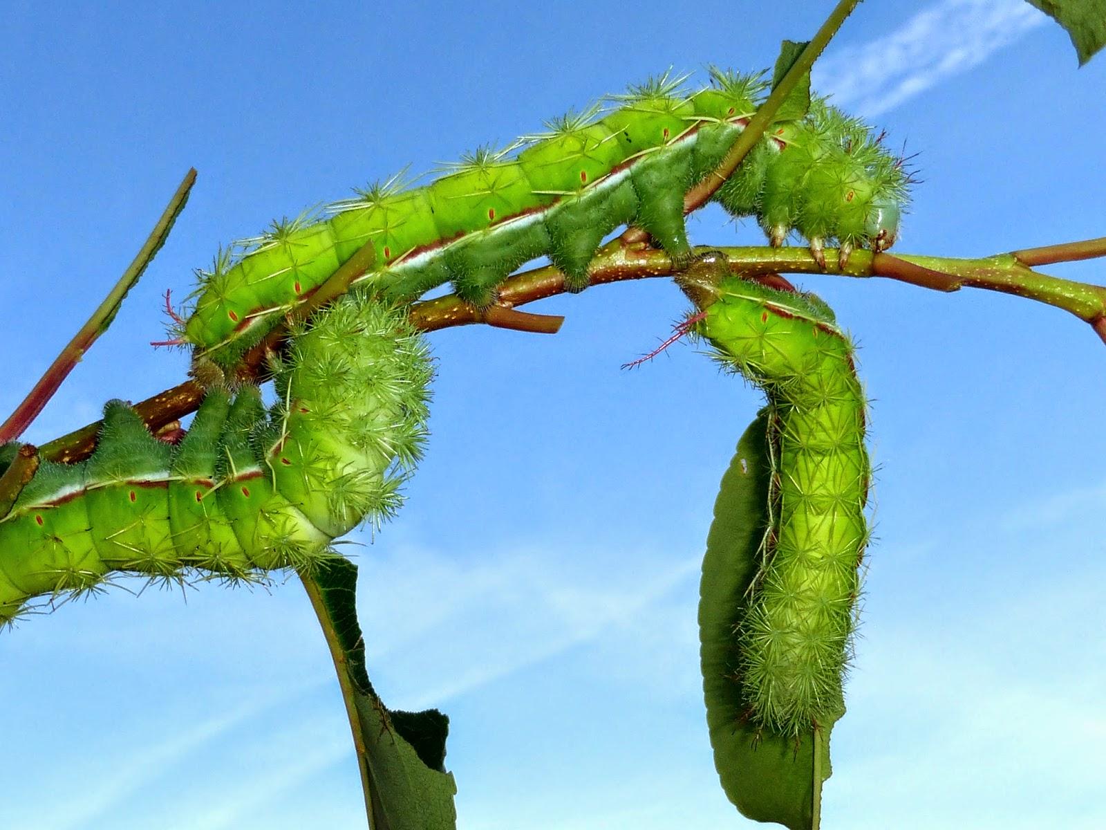 Periphoba arcaei caterpillars L7