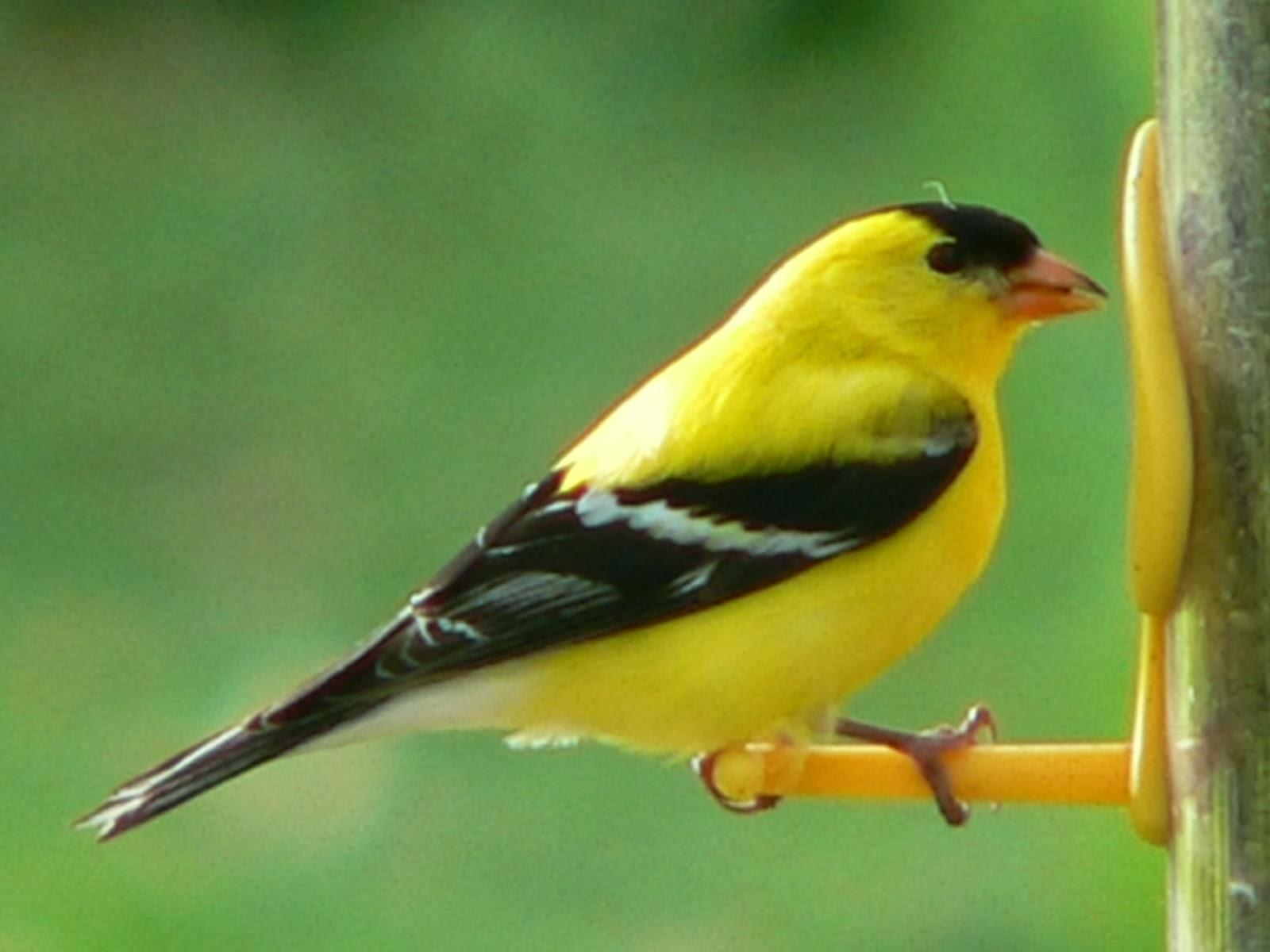 American goldfinch angelic hugs for Gold bird wallpaper