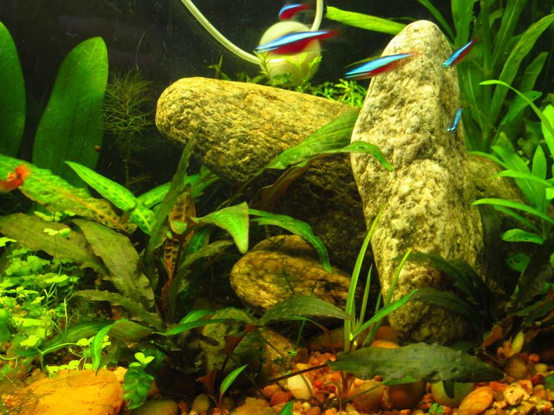 Peces tropicales de agua dulce mi acuario luego de la poda for Peces agua dulce tropicales para acuario