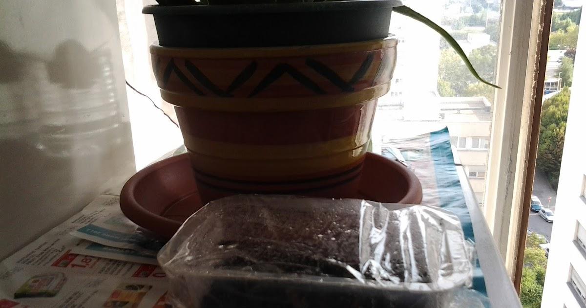 Pousse pousse a pousse pousse d 39 un citronnier par semis - Entretien d un citronnier ...