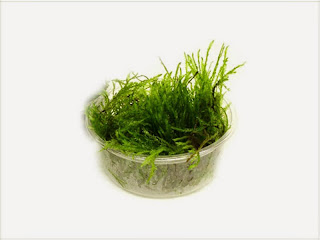 gambar-Taxiphyllum-sp.-Var.-Spiky-spiky-moss-tanaman-aquascape