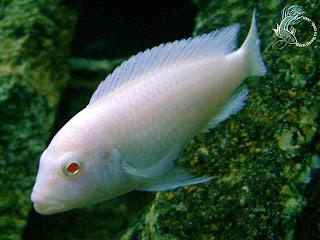 Cá Ali mắt đỏ