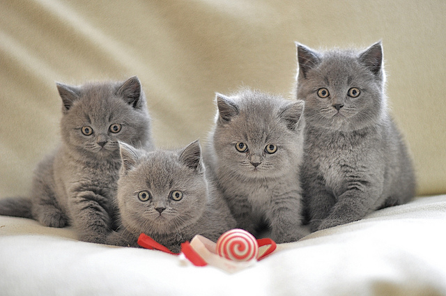 Video Of British Blue Cats