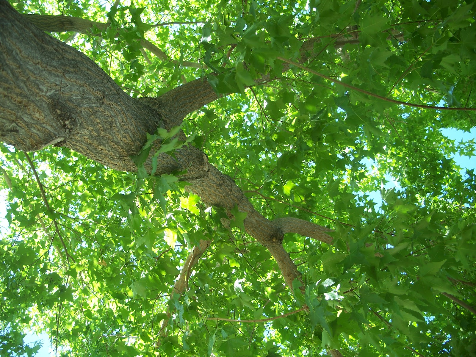 tree seed helicopter with Plant Of Month Shantung Maple on Maple Seeds And Animals Exploit Same Trick Fly 1540 furthermore 564860073 additionally Crimson King Maple Tree Seeds furthermore Factsheet additionally Ragwort Control Removal Advice.