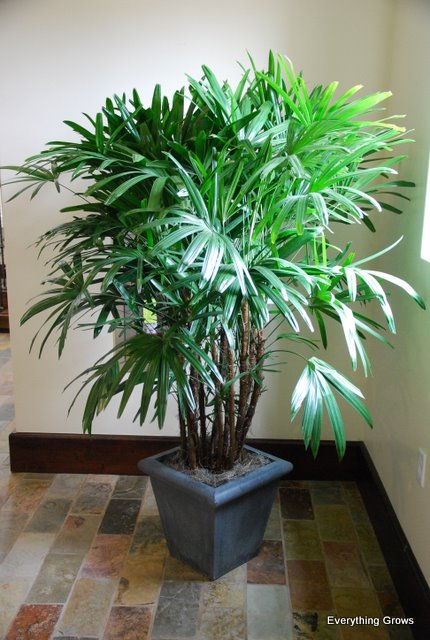 everything grows video on how rhapis excelsa palms are grown for interior landscaping. Black Bedroom Furniture Sets. Home Design Ideas