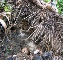 akar kelapa sawit