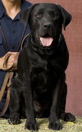 Black Labrador Retriever Cadillac in a sit