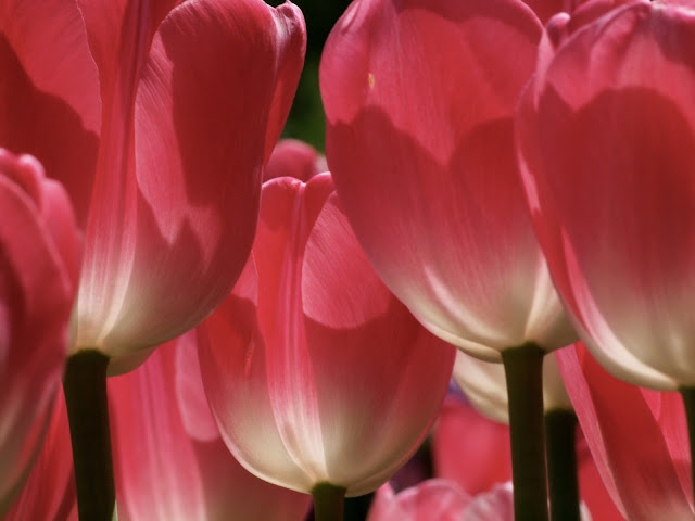 Tulips, Conservatory Garden, Central Park (2012)