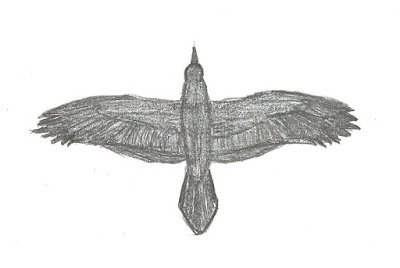 Figure 25: Flight shape of Common Raven.
