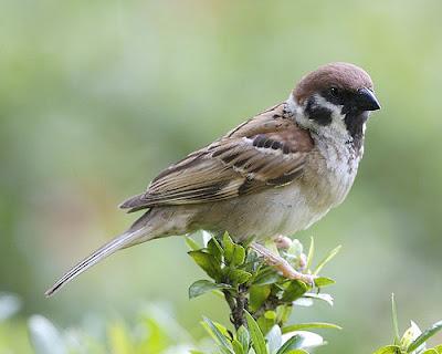Burung gereja sebagai isian burung murai dan kacer